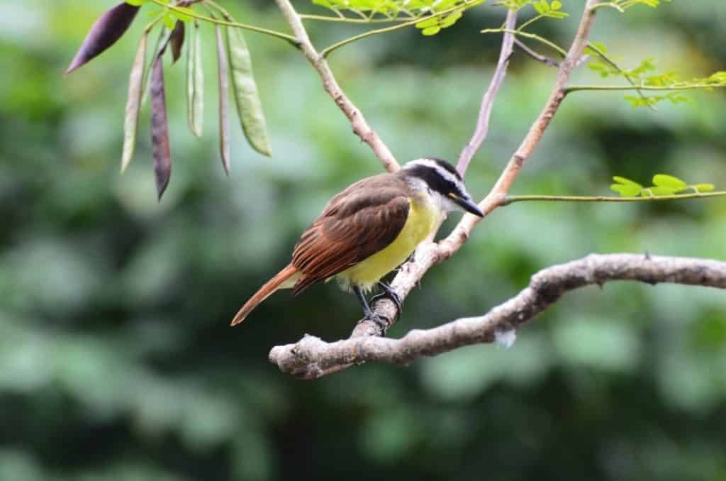 Picture of a Colombian Great Kiskadee bird standing on a tree branch