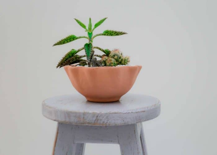 Kiskadee Design Catalogue Image of a Wavy delicate handmade wide pot Desert rose clay pot Natural clay, Made in El carmen de viboral